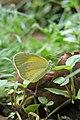 Eurema brigitta - Small Grass Yellow during Periyar butterfly survey at Sabarimala, 2014 (1).jpg