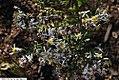 Eurybia divaricata 4zz.jpg