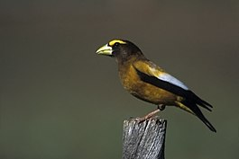 Evening Grosbeak Male.jpg