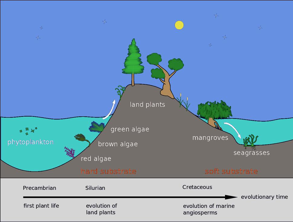 Evolution of seagrasses Pengo 8