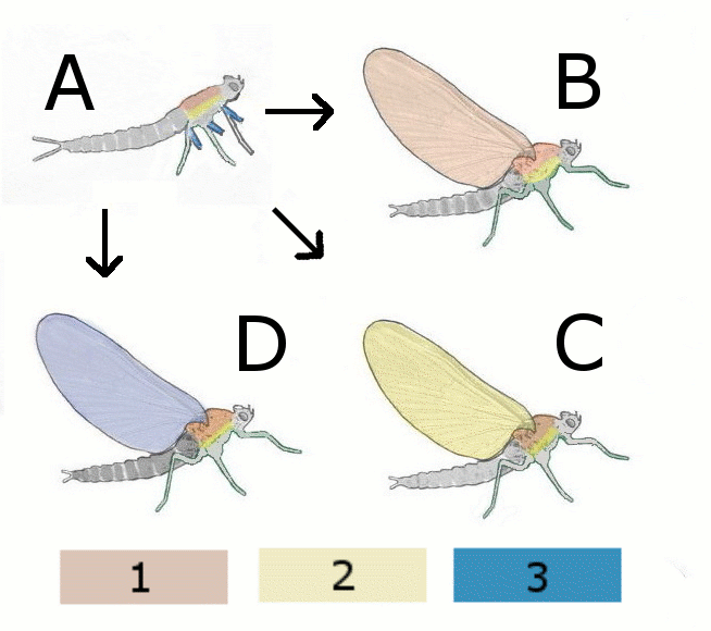 Evolution of wing of insect-V2