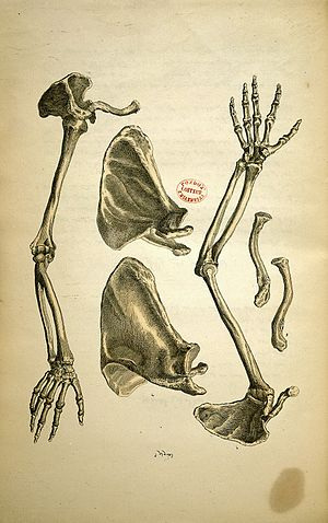 Frederic J. Mouat - A page from Mouat's anatomy text (1849)