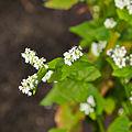 Fagopyrum esculentum-IMG 9266.jpg