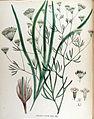 Falcaria rivini — Flora Batava — Volume v17.jpg