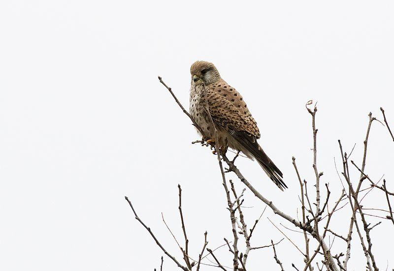 File:Falco tinnunculus - Common Kestrel (female), Adana 2016-12-16 01-4.jpg