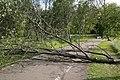 Fallen tree Hupisaaret Oulu 20190623.jpg