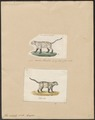 Felis colocolo - 1700-1880 - Print - Iconographia Zoologica - Special Collections University of Amsterdam - UBA01 IZ22100127.tif