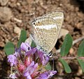 Female Long-tailed Blue. Lampides boeticus (31966804970).jpg