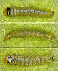 Fenusella nana, larva.jpg