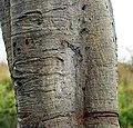 Ficus amplissima bark.jpg