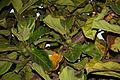 Ficus lyrata chippendale3.jpg