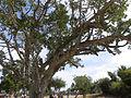 Ficus sycomorus Ashkalon 2.jpg