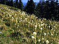 Field of Beargrass-Gifford Pinchot (26686932742).jpg