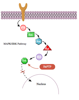 Crosstalk (biology) - Figure 3: even without activation by a ligand bound to the receptor (R1), the MAPK pathway normally shows basal activity (at low levels). However, HePTP counteracts this activity.