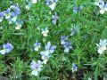 Fiołek trójbarwny Viola tricolor var. maritima.jpg