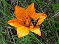 Fiore con farfalla - panoramio.jpg