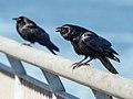 Fish crow in Red Hook (42744).jpg