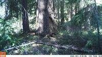 File:Fishers (Martes pennanti) in Oregon.webm