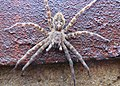 Fishing Spider at Neosho National Fish Hatchery (10980374715).jpg