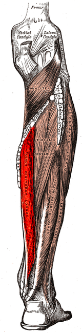 flexor digitorum longus muscle - wikipedia, Cephalic Vein