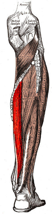 Músculo flexor largo de los dedos - Wikipedia, la enciclopedia libre