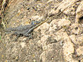 Flat-headed Rock Agama, female, Serengeti.jpg
