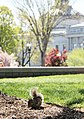Flickr - USCapitol - Squirrel in front of the Library of Congress.jpg