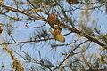 Flickr - fr.zil - Oiseau tisserand (mâle) (2).jpg