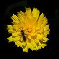 Flor e insecto en Valverde. Vilarromarís. Oroso-x1.jpg