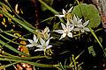 Flores en Fuencaliente (5587222836).jpg