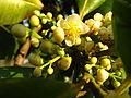 Florfemininadeguanandi.JPG