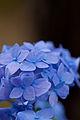 """Flower, Hydrangea """"Shikizaki-Hime-Ajisai"""" - Flickr - nekonomania.jpg"""