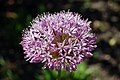 Flower @ Jermyns House, Hillier Gardens (4655294473).jpg