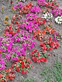 Flower bed, Purple and Red, Central Park west in Gyömrő, Pest County, Hungary.jpg