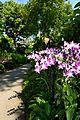 Flowers in National Orchid Garden in Singapore Botanic Gardens.jpg