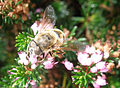 Fly-Bee-on-Heather (46115960).jpg