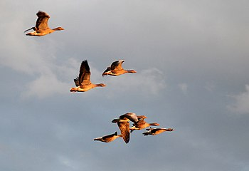 English: Flying geese over Marsh Farm Marsh Fa...