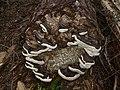 Fomitopsis pinicola 21631.JPG