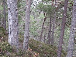 Forest above the Allt Ruadh - geograph.org.uk - 318433.jpg