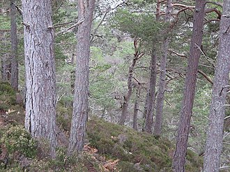 Caledonian Forest - Caledonian Forest above the Allt Ruadh
