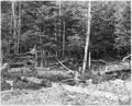Forest damage from beavers cutting down trees near the old Lind Trail - NARA - 285984.tif