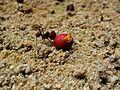 Formiga carregando alimento.jpg