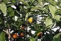Fortunella margarita 7zz.jpg