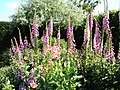 Foxgloves and poppies, RHS Garden Rosemoor - geograph.org.uk - 1054913.jpg