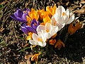 Frühlingsblumen Krokus.jpg
