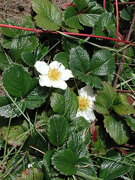 Fragaria chiloensis sf ca.jpg