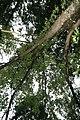 Fraxinus americana 14zz.jpg