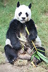 Fressender Panda.JPG