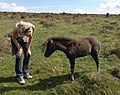 Friendly foal - geograph.org.uk - 1498907.jpg