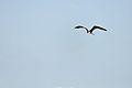 Frigatebird - Playa del Carmen, Quintana Roo, Mexico - August 20, 2014 01.jpg